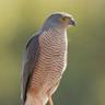 Burundian Hawk