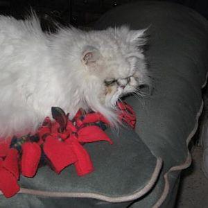 Cat Dreadlock Side Pic