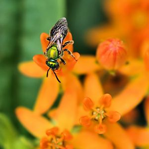 Insect on Butterfly Weed